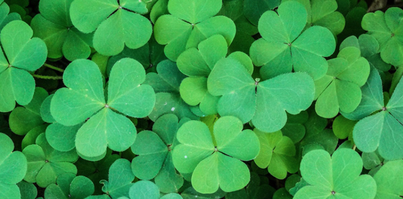 Irish Speakers group of shamrocks